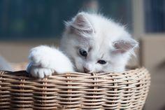 10 weeks old kitten neva, blue tabby bicolor
