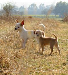 De paseo con mis #Chihuahuas #Blanco