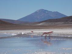 Flamingos and Bolivia's Salar De Uyuni