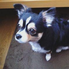 キラッキラッの瞳✨ の向こうは、お・や・つ! * * #土曜日#午後のおやつ #北海道#夏 #summer#hokkaido #チワワ#愛犬#わんこ #犬#犬のいる暮らし#癒し #ロングコートチワワ#chihuahua #chihuahualove#dogstagram#instadog#dog