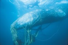 <p>According to a study from Plymouth University, plastic pollution affects at least 700 marine species, while some estimates suggest that at least 100 million marine mammals are killed each year from plastic pollution. Here are some of the marine species most deeply impacted by plastic pollution.</p>