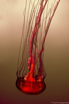 "Jellyfish Photography - red jellyfish print large wall art 16x24 beige ocean 11x14 jellyfish art 24x36 underwater art pink tan ""Burning Sea"""