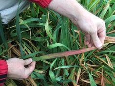 Symptoms of BYDV on oats Grains, Plants, Plant, Seeds, Korn, Planets
