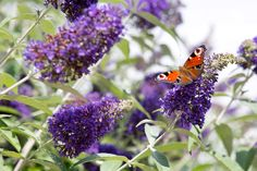 Discover some of the best shrubs for butterflies, including buddleja, honeysuckle and lavender, recommended by the experts at BBC Gardeners' World Magazine.