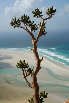 Socotra Island Desert Rose | Socotran desert rose (Adenium Obesium sokotranum) above qalansiyah ... Socotra, What A Wonderful World, Beautiful World, Beautiful Places, Weird Trees, Miles To Go, African Culture, World Cultures, Ocean Waves