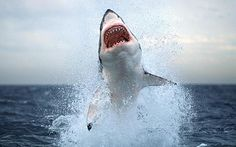 of pictures of Great White Sharks. View Great White Shark pictures from all over the world in our galleries. Rate the pictures and upload your own shark pictures Shark Pictures, Shark Photos, Shark Pics, Shark Week, Orcas, Great White Shark Diving, Deep Blue Shark, Shark Cage, Shark Shark