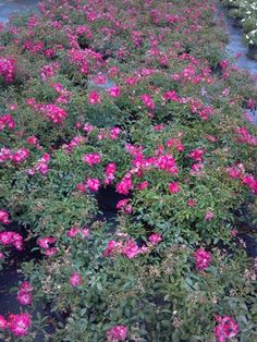 Rosa 'Meijocos' Rose, Pink Drift from Jericho Farms Ground Cover Roses, Landscaping With Roses, Landscape Design, Plants, Pink, Landscape Designs, Planters, Roses, Plant