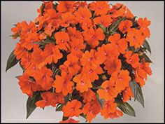 """New Guinea Impatiens Posh™ Orange--Enormous bright orange flowers cover the lovely mounded form.    Great for full sun. Super in containers or the landscape.    Try with red and purple blooms and lime foliage for contrast. Plant Details:  Type:  Annual  Height:Up to  18""""  Spread:Up to  12"""" Color: Orange"""
