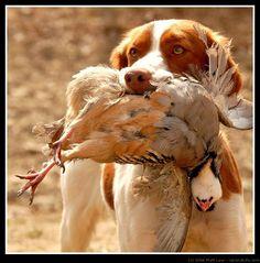 A Brittany spaniel retrieves a chukar partridge to his hunting companion.