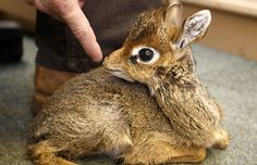 The Dik Dik  Strange name but cute as a button! The Dik Dik originates from the bushlands of eastern and southern Africa
