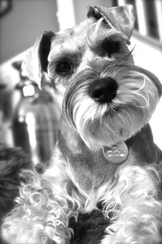 Mini Schnauzers have the sweetest and most adorable face in the dog world, how could you not love this face!!❤️