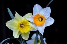 Daffodil, Color, Spring Flowers