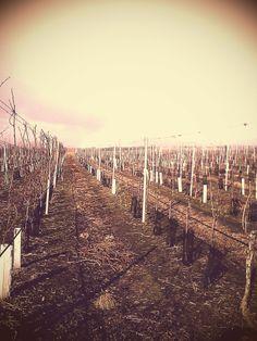 zimní řez 2012 - vinohrad Tasovice / vineyard Tasovice