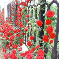 Vermelho Planta Trepadeira Polyantha Subiu Vaso de Flores Flor Sementes DIY Início Jardim Do Pátio 100 pcs Frete Grátis
