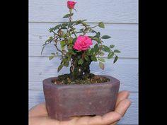 how to rose plant bonsai  wiring the plant urduhindi