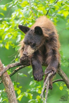 Lounging Black Bear Cub
