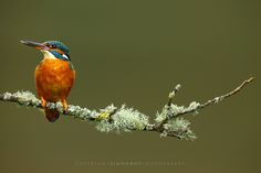 Kingfisher - A gorgeous european Kingfisher (Alcedo atthis) on a lichen covered perch. UK, April http://www.simonroyphotography.co.uk/