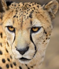 If ever an animal was born to run, it's the cheetah.   photo by Clark Oden