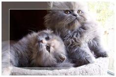 Grey Persian kittens Google
