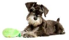 How to Potty Train Miniature Schnauzer Puppy with Ease Can Be Done When You Strictly Follow a Plan that You Can Learn from Experts in Dog Training