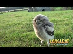 ▶ Keeper Cares for Baby Burrowing Owls at Longleat - YouTube