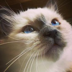 Close up on #wednesdaywhiskers This bluepoint girl Vanessa @vide.vanessa is a new addition alongside her brother to her family. What a birman bliss! #birmavanner #heligbirma #birma #sacredbirman #birmania #birmanie #pyhäbirma #instabirmans #birmansofinstagram #whitecats #blueeyes #fluffycats #catsofinstagram #cats #kittens #instakittens #kittensofinstagram #tabbycats #tortiecats #toocute #beautifulcats #bluepoint #blåmaskad