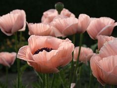 Pink Poppies: thinking about them because my lawn service mowed the flowers off my neighbors. Not good.  Neighbor was not pleased.  They only bloom one week at year.