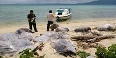 19 Green Turtle carcasses found off Kudat