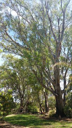 Gum Tree garden
