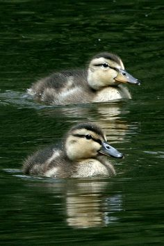 Sweet Little Duckling Twins. This reminds me of the two baby ducks my brother and me had when we were little. Set them free in the park when grown.