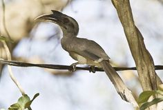 The Indian Grey Hornbill (Ocyceros birostris) is a common hornbill found on the Indian subcontinent. It is mostly arboreal and is commonly sighted in pairs. They have grey feathers all over the body with a light grey or dull white belly. The horn is black or dark grey with a casque extending up to the point of curvature in the horn. They are one of the few hornbill species found within urban areas in many cities where they are able to make use of large avenue trees.