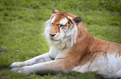 """Strawberry Beauty"" - photo by Nikki-vdp, via deviantART;  Golden Tiger (or Golden Tabby Tiger) at the Olmense Zoo in Olmen, Belgium.  The color variation is the result of a recessive gene."