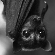 Little bat face Animals And Pets, Baby Animals, Funny Animals, Cute Animals, Creatures Of The Night, All Gods Creatures, Murcielago Animal, Beautiful Creatures, Animals Beautiful