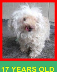 OPCA Shelter Network Alliance · Orange, CA ~ Animal ID #A1370986 Orange County Animal Care Center *** 17 Year Old SENIOR ALERT!!! *** ‒ I am a Unknown Gender, White Miniature Poodle mix. The shelter thinks I am about 17 years old. I have been at the shelter since January 28, 2015. https://www.facebook.com/OPCA.Shelter.Network.Alliance/photos/pb.481296865284684.-2207520000.1422657762./768577976556570/?type=3&theater