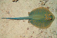 Saltwater Blue #Spotted #Stingray Taeniura lymma #ray