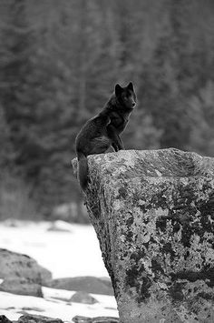 So I need a black wolf as a pet. I could have so much fun with people, especially at night.