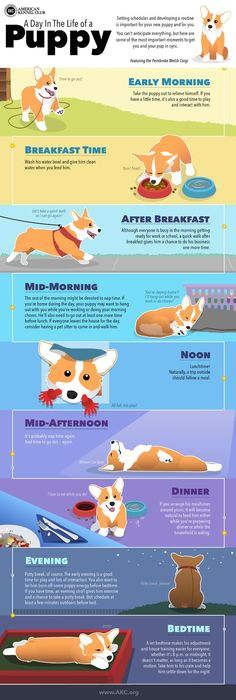 Puppy Schedule: Daily Routine for New Puppies - - The first few weeks with your new puppy is the time to start establishing good behaviors. Here's how from AKC's dog training experts. Puppy Schedule, New Puppy Checklist, Puppy Feeding Schedule, Pitbull Boxer, Boxer Mix, Puppy Training Tips, Training Your Dog, Potty Training, Training Classes