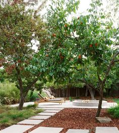 Backyard Garden With Fuyu Persimmon Tree : Growing Fuyu Persimmon Trees
