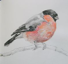 Bullfinch. Sketchbook drawing by Lisa Toppin.