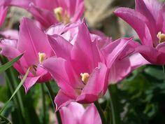 Rózsaszín, Tulipán, Virág, Tavaszi