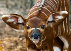 There are more Bongo deer in captivity than there is in the wild.