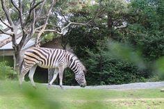 シマウマ (Zebra)