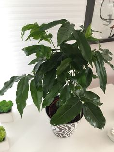 Astuce pour que les feuilles de vos plantes brillent : sur un chiffon mettre de l'eau et de l'huile d'olive et le passer sur chaque feuille.  Effet instantané!