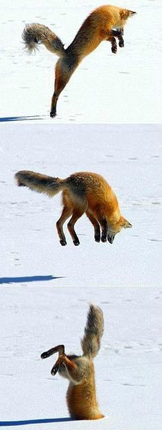 Snow Diving Fox When the fox strikes, he strikes with style. ' A red fox listens out for mice scurrying six feet beneath the snow before diving head first into the drift. Cute Baby Animals, Animals And Pets, Funny Animals, Funny Dogs, Wild Animals, Beautiful Creatures, Animals Beautiful, Fuchs Baby, Animal Pictures