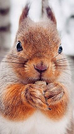 Red Squirrel thoughtfully chewing on a Nut . Red Squirrel thoughtfully chewing on a Nut . Squirrel Pictures, Animal Pictures, Forest Animals, Woodland Animals, Animals And Pets, Funny Animals, Baby Wild Animals, Cute Squirrel, Squirrels