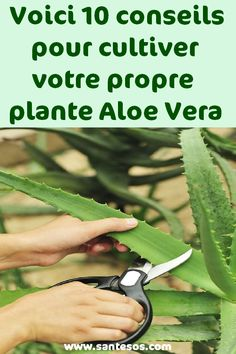 How To Stay Healthy Nutrition Here are 10 tips to grow your own Aloe Vera plant - # 10 # Aloe # tips