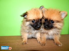 Chicago TOY Pomeranian Babies. Super Cute!! Prespoiled. Vet Checked. ~~Wags…