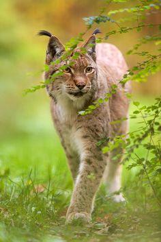Lince boreal o europeo (Eurasian lynx) - Lynx lynx. Es el representante más común y conocido del género Lynx. Es un felino de tamaño medio, predador nativo de los bosques europeos y siberianos. Es predominantemente forestal, aunque también puede vivir en praderas y pastos de montaña. [Wikipedia]