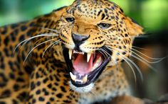 Angry Leopard x