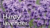 http://www.downderry-nursery.co.uk/lavender-care/